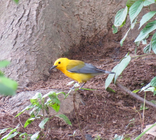 Bright prothonotary warbler at Pony Pasture