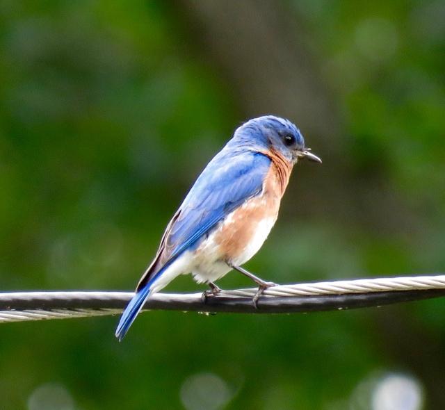 Bryan Park Bluebird