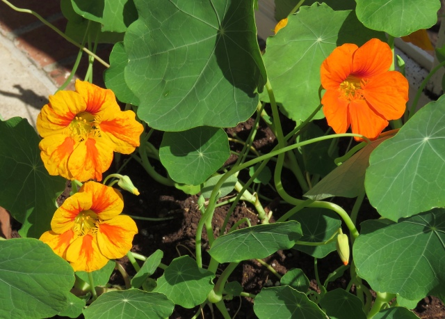 Front porch nasturtiums. Thanks Evie! You can even eat them!
