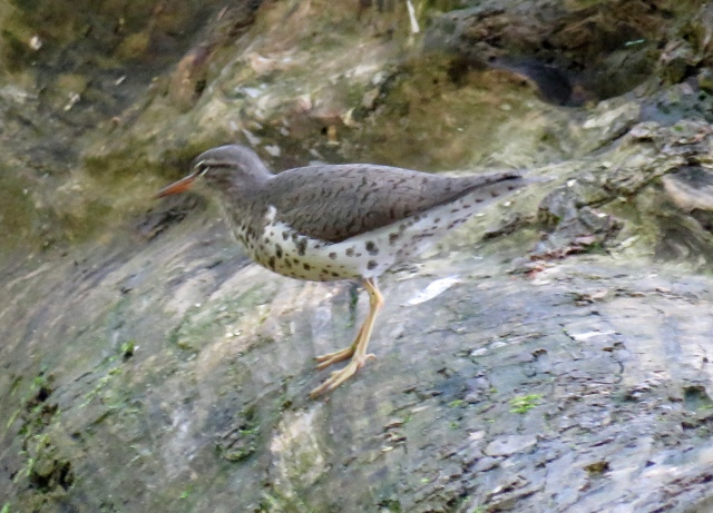 Spotted Sandpiper at Pony Pasture