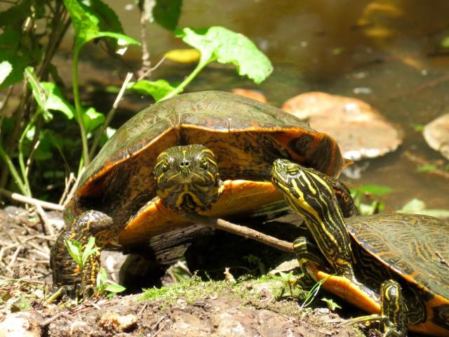 Almost as bright as the nasturtiums! Turtles & nasturtiums seek light; fungus not so much.