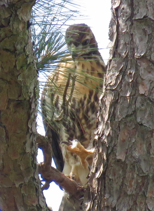 young redtail contemplating its talons