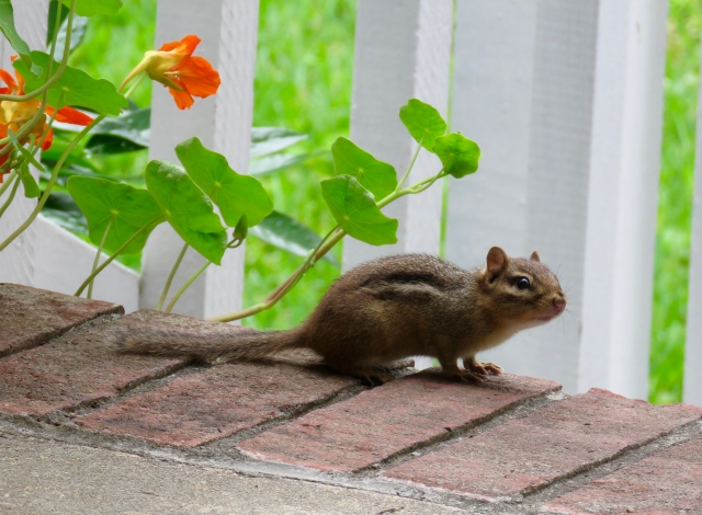 I don't think chipmunks feel cheerful any more than ospreys feel approval. But this chipmunk looks kind of satisfied.