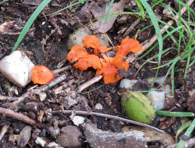 I'm always surprised how bright these fungi get without benefit of photosynthesis.