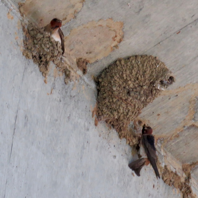 Subset of a Cliff Swallow colony