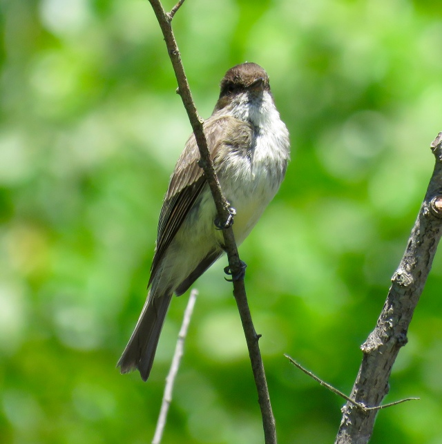 This phoebe is from Deep Run - not Bryan Park.