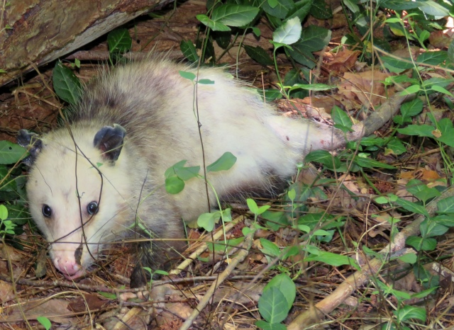 Opossum trying to beat the heat at Pony Pasture early this afternoon.