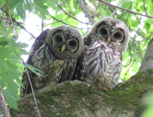 Pair of adolescent Barred Owls (Strix varia).