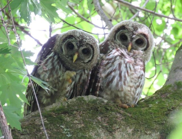 Pair of adolescent Barred Owls (Strix varia).