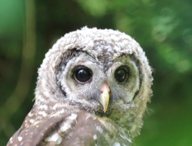 Barred owls are very, very cooperative photography subjects