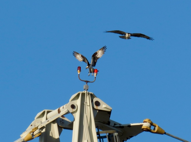 Two ospreys landing on a crane in West Point, VA.