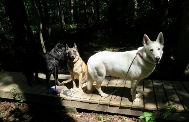 Mackey (black, on left), Turner (brown, in middle), Yuki (white, on right) in Wetlands at Pony Pasture this morning.