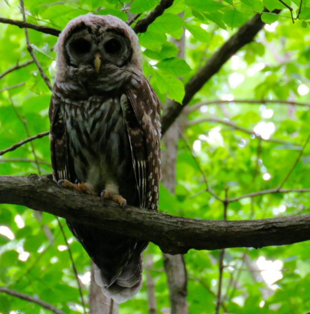 Adolescent Barred Owl, under the canopy at Pony Pasture