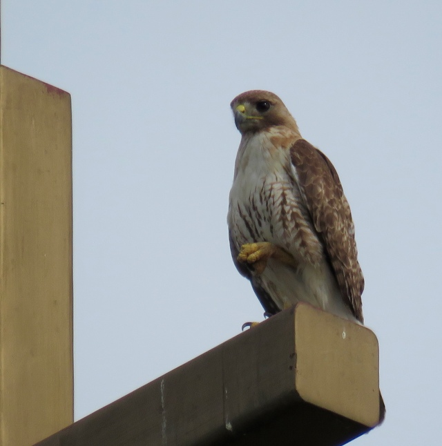 There are always hawks sitting on top of churches!