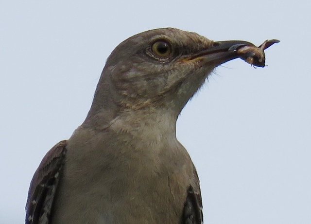 Mockingbird eating an insect in the church parking lot.