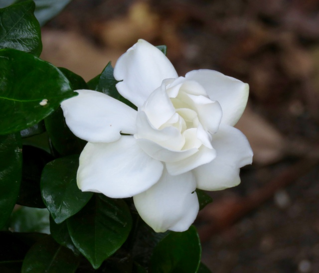One of many gardenias blooming outside our open living room window: