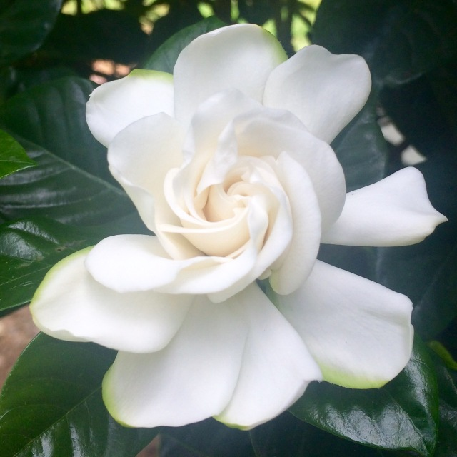 Ev's photograph of the fresh gardenia she coaxed into bloom behind our house this morning: