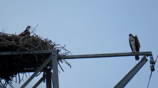 An osprey parent (right) and a young osprey (on the nest)