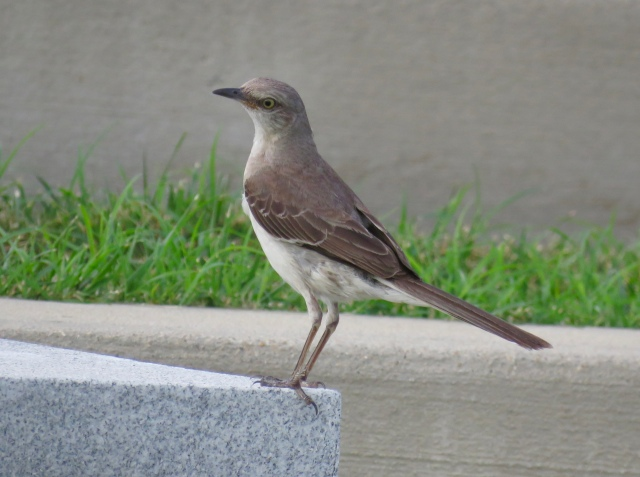 "A French speaker might say a mockingbird has a certain ""je ne sais quoi"""