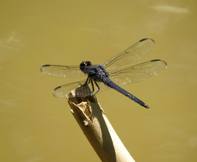 Every dragonfly is gorgeous.