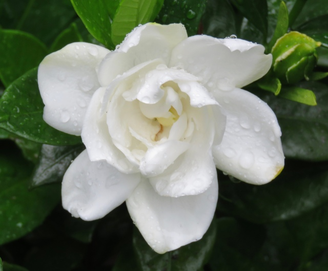 There is not a plant in this world as fragrant as a gardenia
