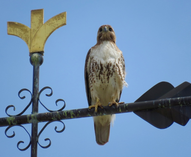 Red-tail on a weathervane