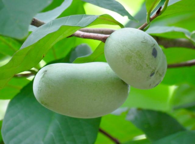 Immature pawpaw fruit.