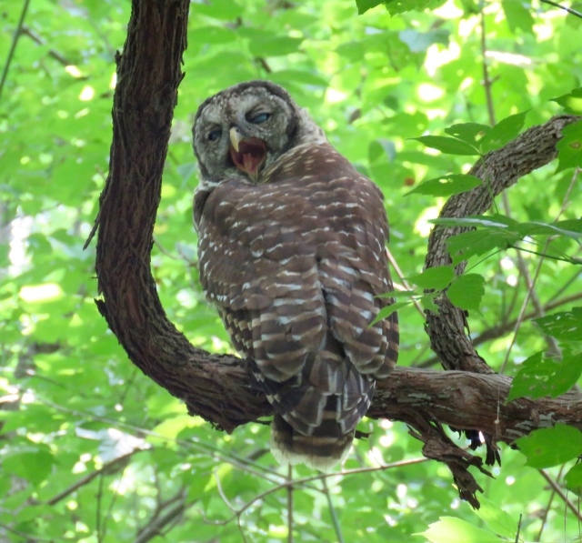 Barred Owl (Strix varia) yawns in the afternoon heat at Pony Pasture