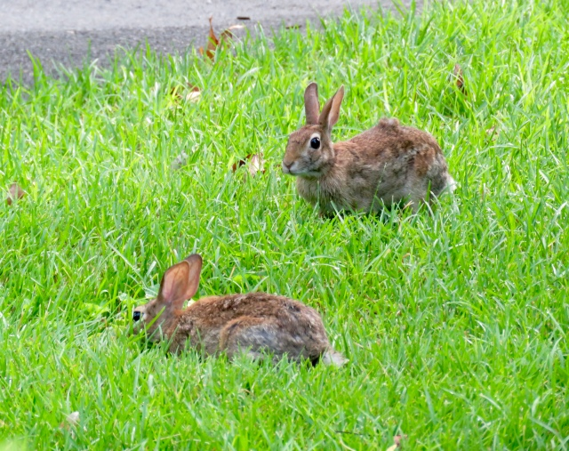 Young cottontail rabbits munching on the fresh grass in the morning