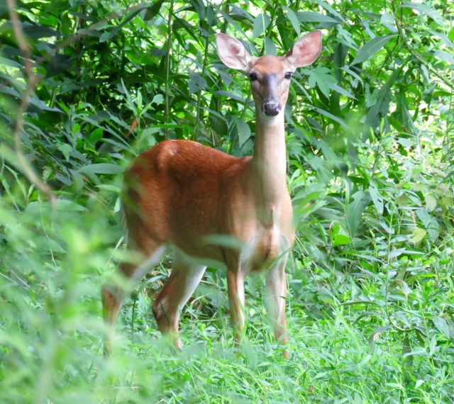 Peaceful gaze from a Whitetail Deer at Pony Pasture