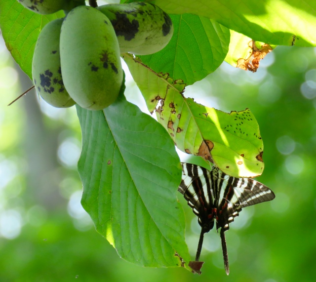 Symbiosis - a Zebra Swallowtail on its host plant, a Pawpaw