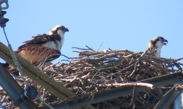 Panting ospreys. You just know it has to be hot in that nest.