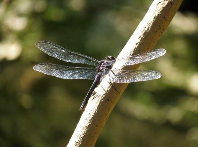 All dragonflies are elegant and graceful