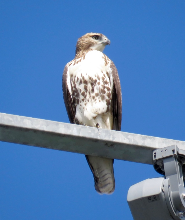 Young Red-tail on the lights in right field at DS Freeman HS