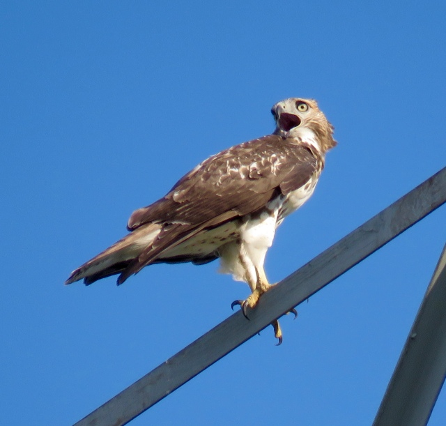 I believe this is a young Red-tail, crying for food. I'm not positive, but I think so. It fits with the data.