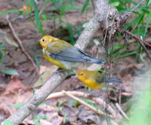 Summer Prothonotary Warblers at Pony Pasture