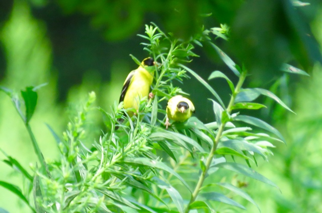 Two goldfinches in bright contrast with the green leaves