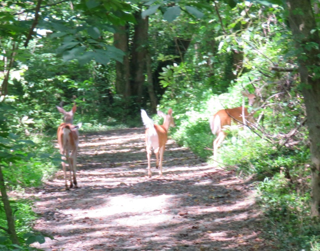 Family crossing the trail; the larger buck is in the bushes on the right.