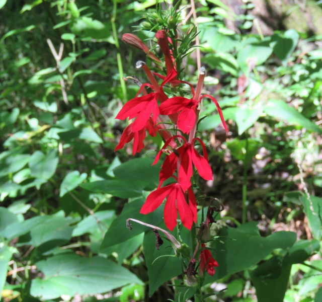 Cardinal flower in a swampy spot at Pony Pasture
