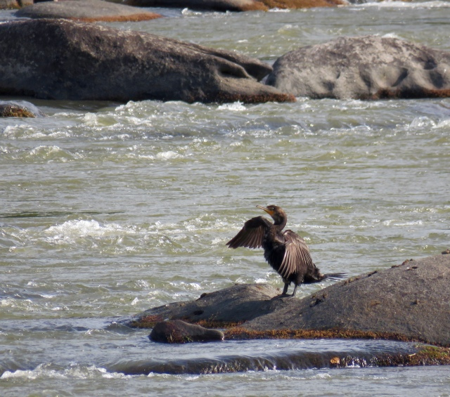 Cormorant stoop. Not really, but they both folded their wings simultaneously: