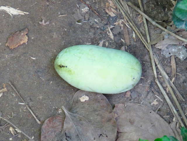 I was stooping above this pawpaw just before eating it