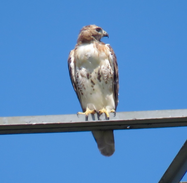 Young Red-tail against a bright blue sky.