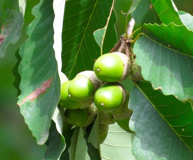 Unripe chestnut oak acorns