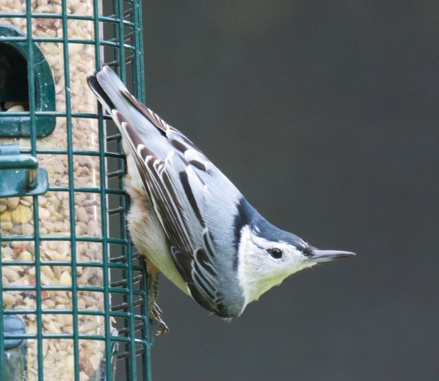 Nuthatch - so cute. Like a little tuxedo.