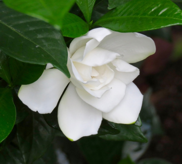 Love affair w/gardenias continues to blossom: