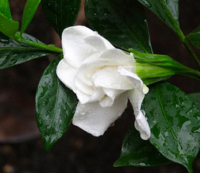 2nd 1/2 of September - the gardenias continue.
