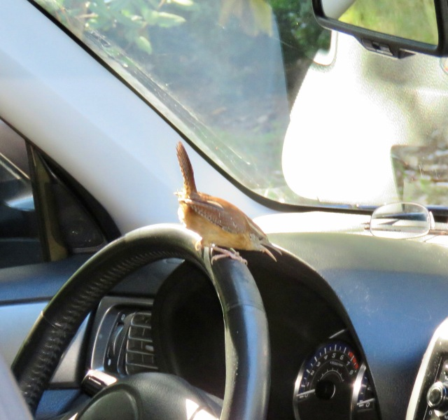 I walked out to my car this week and found this Carolina Wren ready to drive: