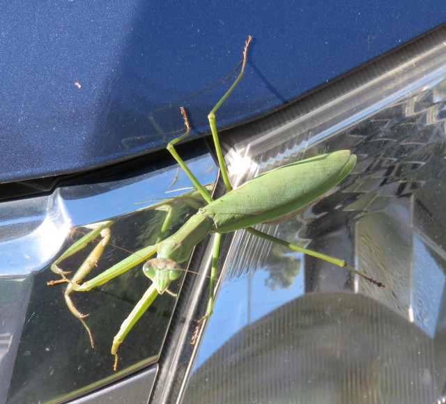 Praying mantis on the hood then in the 'hood