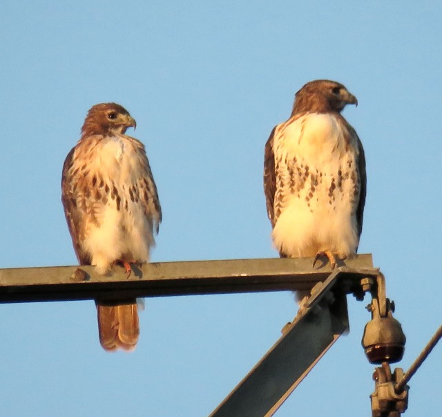 Pair of Red-tails near Freeman HS, waiting for the sun to disappear