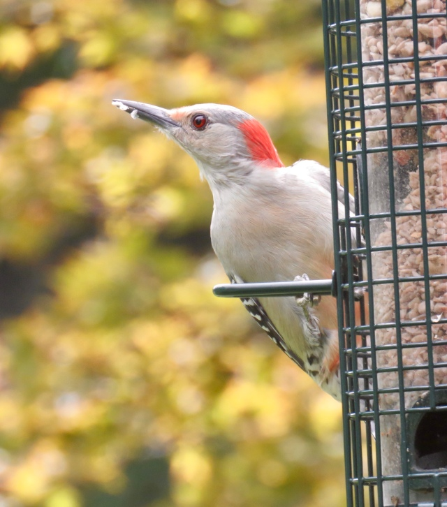 Red-bellied woodpecker on the feeder outside my window!